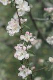 Flores blancas y rosadas de un manzano Fotos de archivo
