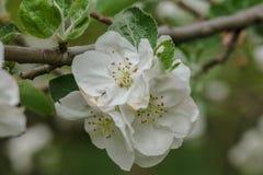 Flores blancas y rosadas de un manzano Fotografía de archivo libre de regalías