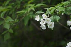 Flores blancas y rosadas de un manzano Fotografía de archivo