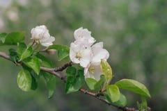 Flores blancas y rosadas de un manzano Imagen de archivo libre de regalías
