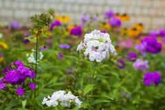 Flores blancas y rosadas del geranio en jardín Foto de archivo