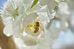 Flores blancas y una abeja de la miel Imagenes de archivo