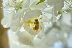 Flores blancas y una abeja de la miel Imágenes de archivo libres de regalías