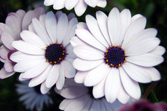 Flores blancas y violetas Imágenes de archivo libres de regalías