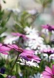 Flores blancas y violetas del Dimorphotheca bajo sol brillante Imágenes de archivo libres de regalías