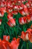 flores blanco-rojas del tulipán. Fotografía de archivo