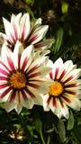 flores blanco-rojas en la hierba imagen de archivo
