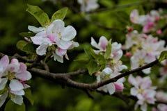 flores Blanco-rosadas en rama marr?n con las hojas verdes foto de archivo libre de regalías
