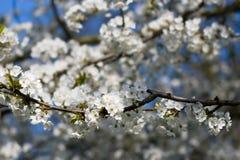 Flores blancos Fotos de archivo libres de regalías