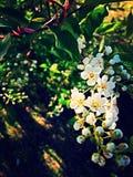 Flores blancos Imagenes de archivo