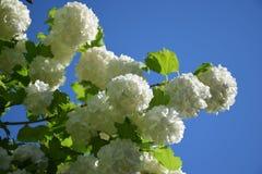 Flores blancos Imagen de archivo libre de regalías