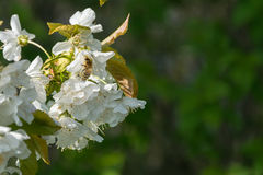 Flores blancos con la abeja en fondo verde Imagen de archivo