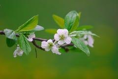 Flores blancos de la cereza hermosa Fotos de archivo