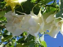 Flores blancos de la datura contra un cielo azul Fotos de archivo libres de regalías
