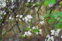 Flores blancos de la primavera Foto de archivo libre de regalías