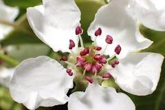 Flores blancos de una pera en el primer de la rama Foto de archivo libre de regalías
