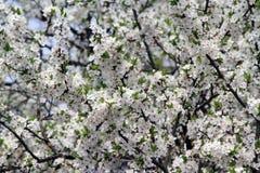 Flores blancos del árbol de ciruelo Imagen de archivo libre de regalías