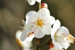 Flores blancos del ciruelo Imágenes de archivo libres de regalías