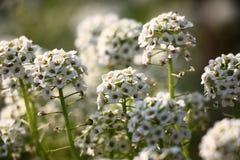 Flores blancos del lobularia Fotografía de archivo