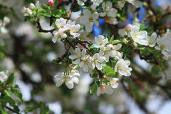 Flores blancos del manzano Foto de archivo