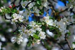 Flores blancos del manzano Foto de archivo libre de regalías