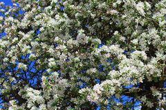 Flores blancos del manzano Imagen de archivo libre de regalías