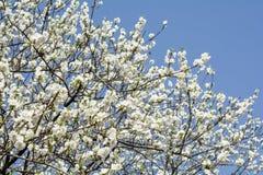 Flores blancos del melocotón Fotos de archivo libres de regalías