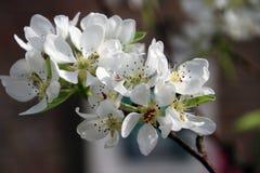Flores blancos en cierre para arriba en un árbol del prunus en el parque en la guarida aan IJssel, los Países Bajos de Nieuwerker Imágenes de archivo libres de regalías
