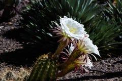 Flores blancos en el cactus gigante de Argentina de Suramérica; abandone la tierra y otras plantas del succulent en el fondo Fotografía de archivo