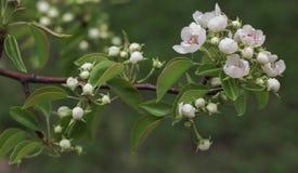 Flores blancos en la rama del peral floreciente foto de archivo