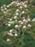 Flores blancos en la rama del peral floreciente Fotos de archivo