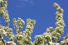Flores blancos en la rama del peral floreciente Fotos de archivo libres de regalías