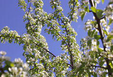 Flores blancos en la rama del peral floreciente Imagen de archivo libre de regalías