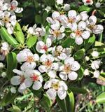 Flores blancos en la rama del peral floreciente Fotografía de archivo