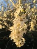 Flores blancos en rama Fotos de archivo libres de regalías