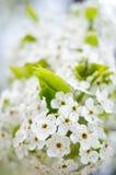Flores blancos hermosos del árbol Imágenes de archivo libres de regalías