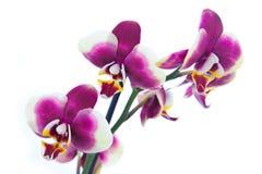 Flores blancos púrpuras de la orquídea Imagen de archivo