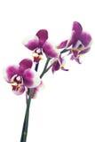 Flores blancos púrpuras de la orquídea Imagen de archivo libre de regalías