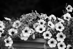 Flores blancos y negros de la petunia Fotografía de archivo libre de regalías