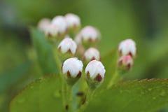 Flores blancos y rosados de Apple con el primer de las hojas Imágenes de archivo libres de regalías