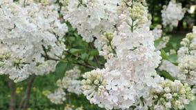 Flores blandas y brotes blancos delicados de la lila que se sacuden en el viento en cierre del día de primavera para arriba almacen de video