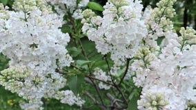 Flores blandas y brotes blancos delicados de la lila que se sacuden en el viento en cierre del d?a de primavera para arriba almacen de video