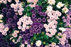 Flores bola-dadas forma violetas foto de stock