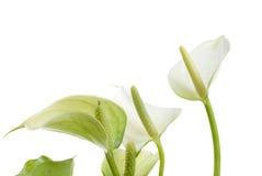 Flores bonitas Imagem de Stock Royalty Free