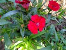 Flores bonitas bengalis imagem de stock royalty free