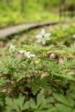 Flores bonitas, brancas do nemorosa da anêmona da anêmona da anêmona mim Fotos de Stock