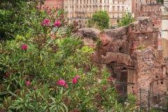 Flores bonitas com Roman Forum no fundo Indicadores velhos bonitos em Roma (Italy) Fotografia de Stock Royalty Free