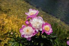 Flores bonitas como um fundo imagens de stock royalty free