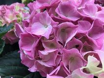 Flores bonitas cor-de-rosa da hortênsia, fim acima fotos de stock royalty free
