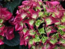 Flores bonitas cor-de-rosa da hort?nsia, fim acima imagem de stock royalty free